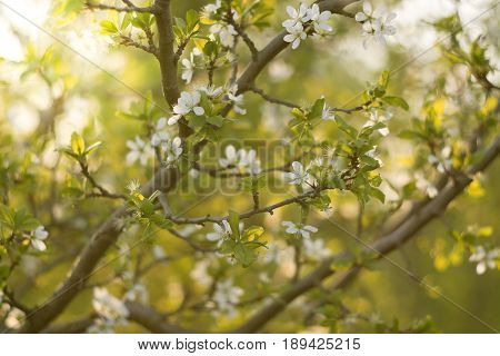 Flowering plum tree with sunlight. The plum blossom. Selective focus