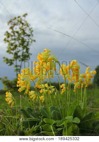 Primroses Primula Veris on a springy cloudy day on a hill with a lone birch