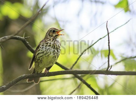 bird song thrush sings loudly in the spring woods