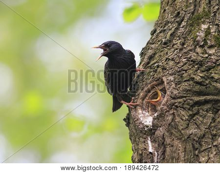 bird black Sparrow flew to the nest tree and feeding Chicks