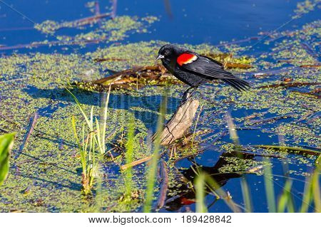 Male Red-winged blackbird (Agelaius phoeniceus) standing on a small log just above the water