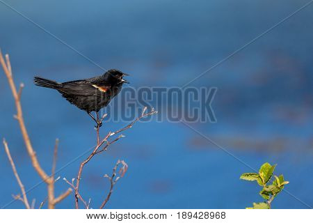 Male Red-winged blackbird (Agelaius phoeniceus) singing for a female to mate with