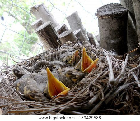 Baby woodpeckers waiting on their mother. Bird nest with young woodpecker birds. Woodpecker bird eat in the nests.Nest consists of wood tree branches child beak pecker natural nature  animal wildlife.
