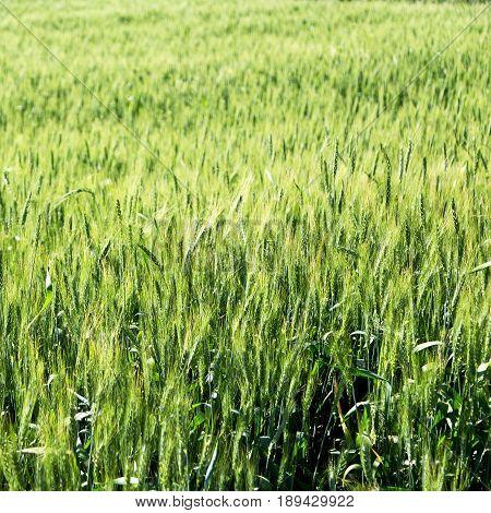 In Iran Cultivated Farm