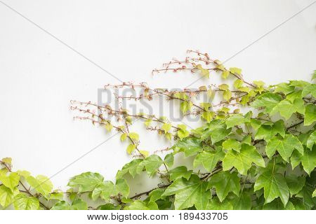 Ivy leaves isolated on white.