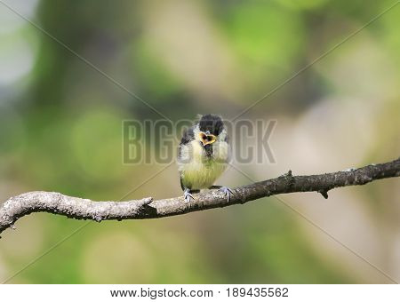 funny little chick tit sitting on a branch widely opened the beak in the spring Park