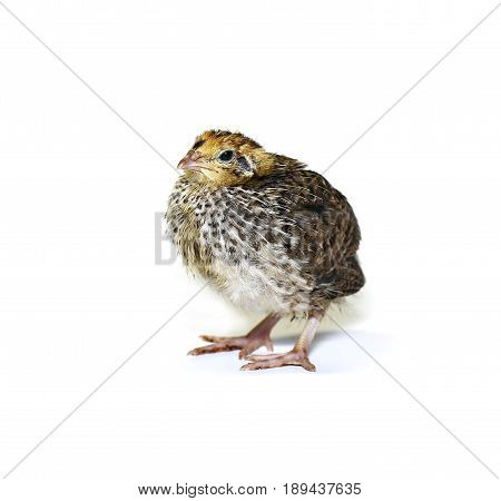 Small quail chick on a white background