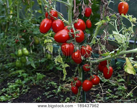Many red elongated tomatoes in a greenhouse