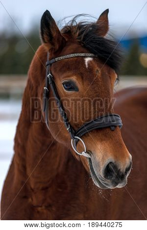 Muzzle Of A Beautiful Brown Horse Close-up