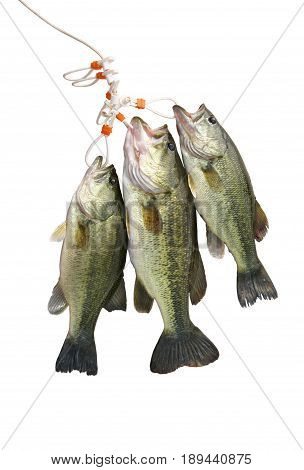 Three largemouth bass on a stringer isolated on a white background