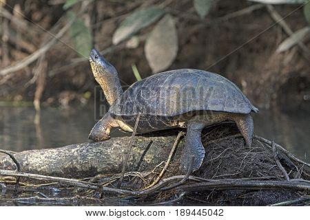 Black River Turtle sunning itself in Tortuguero National Park in Costa Rica