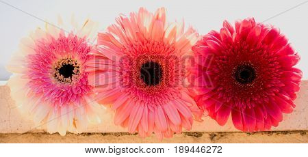 Three gerbers. Beautiful pink flowers. Summer panorama. Colorful bouquet.