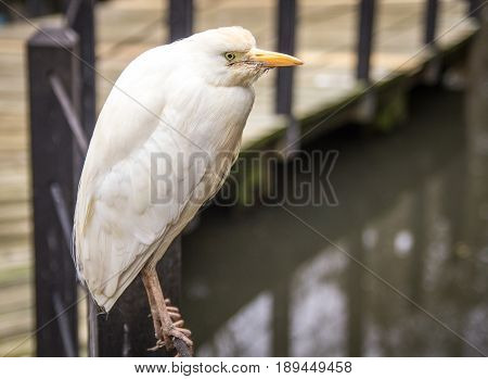 Snowy Egret. White egret, also known as egretta thula, perched on a railing in the coastal South Carolina low country.