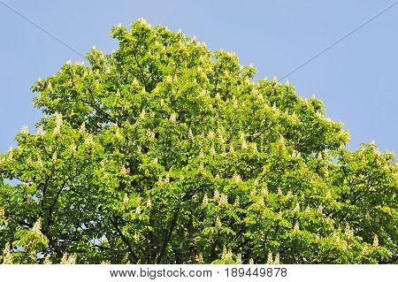 Flowering branches of chestnut (Castanea sativa) tree
