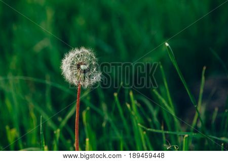 White fluffy dandelion on a background of emerald green grass. Fragile.
