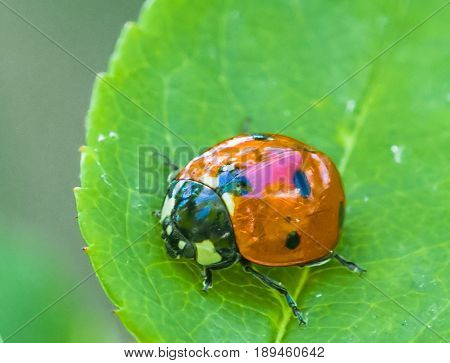 Ladybug on rose tree. Close up. Macro 150mm