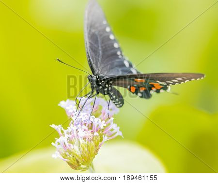 Swallow tail butterfly. Close up. Macro 150mm