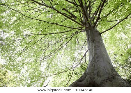 Looking up into beech foliage, early springtime, Biella , Italy poster