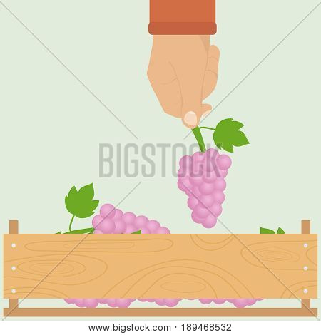 A man's hand with a bunch of grapes. The hand is laying grapes in a box. Flat design vector illustration vector.
