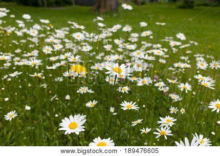 Ox-eye Daisy, Oxeye Daisy,  Magerwiesen-margerite, Magerite, Wiesenmagerite (leucanthemum Vulgare)
