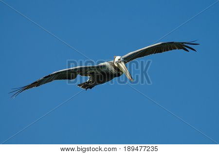 Close-up of a Pelican in full flight, near the Salinas National Wildlife Refuge, near Salinas, Ca USA.