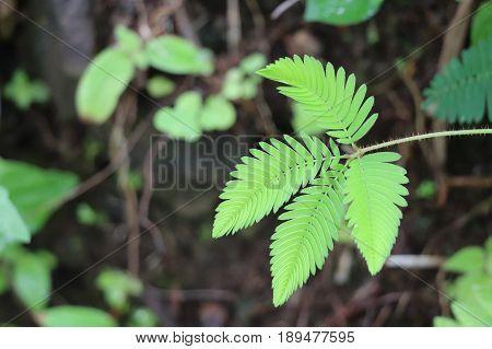 Mimosa pudica Sensitive Plant Tropical Leaf Affraid
