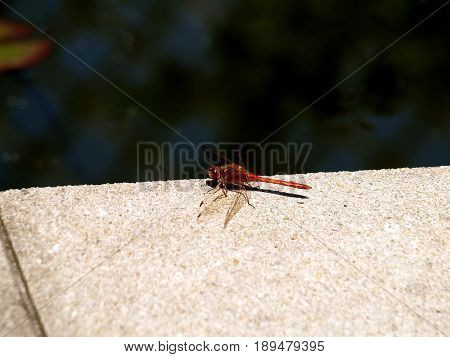 Dragonfly redInsect animal nature water color wing robber arthropod