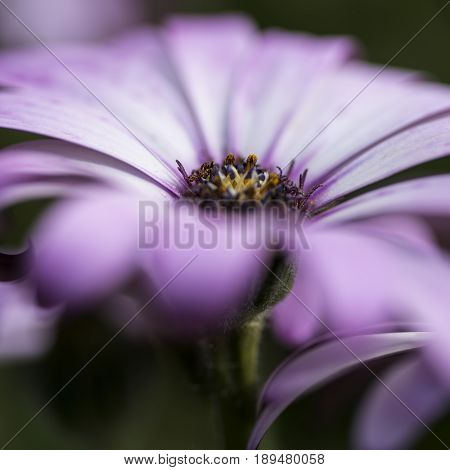 Stunning Artistic Image Of African Daisy With Selective Focus Macro