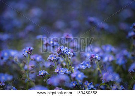 Beautiful Image Of Forget-me-not Myosotis Scorpioides Phlox Flower In Spring Overflowing From Vintag