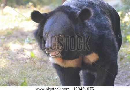 Really cute face of a honey bear ambling along.