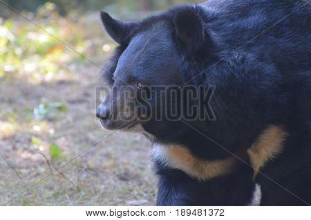 A profile of a black sun bear rambling along.