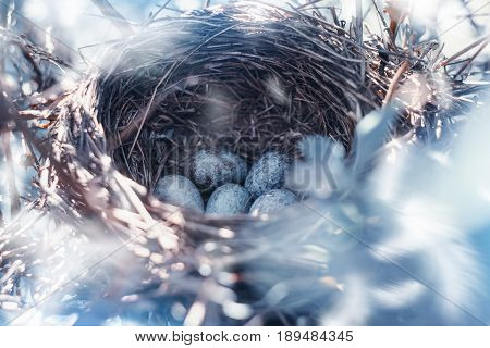 Nest of thrush with eggs in the honeysuckle bushes