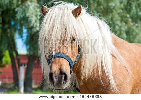 Closeup portrait of shaggy palomino shetland pony head. Summertime outdoors image. poster