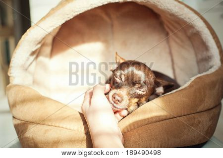 Unconditional devoted love. Owner's hand stroking small toy-terrier dog head. Multicolored vibrant indoors horizontal filtered image