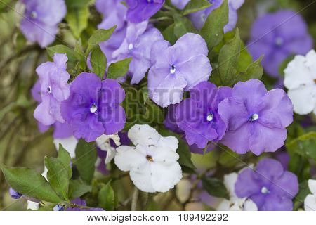 Five petal flowers of nightshade plant Brunfelsia pauciflora.
