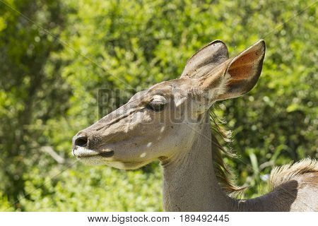 young kudu walking through thick bush in bright sunshine