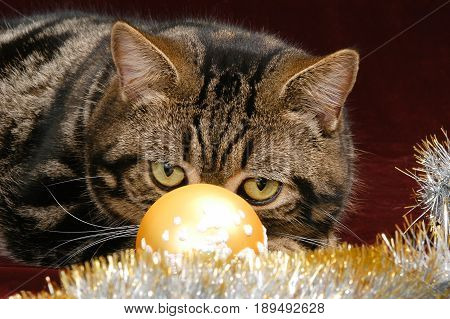British Shorthair Tabby cat with big yellow eyes isolated on dark purple background, puts his head on top of Christmas decorations. Looking cross-eyed at a ball.