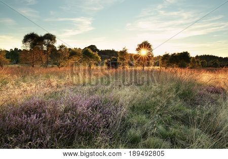 sunbeams over marsh with heather flowers in summer