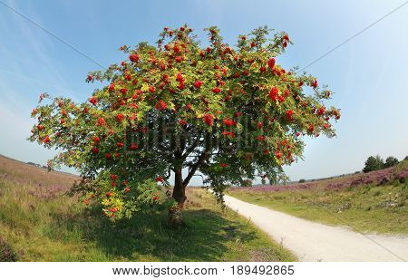 rowan tree with berries in summer sunny day