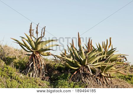 Wild aloe plants with new flowers on a hill early in the morning
