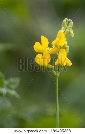 Meadow vetchling (Lathyrus pratensis) raceme. Yellow flowers on clambering plant in the pea family (Fabaceae) common in rough grassland