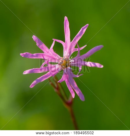 Ragged Robin (Lychnis flos-cuculi) single flower. Pink flower in the family Caryophyllaceae with strange incomplete petals