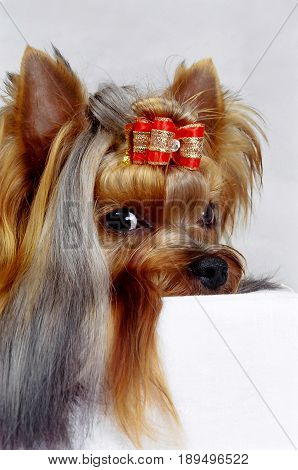 Yorkshire terrier dog in Close-Up leaning his head and looking at the camera,Combed with red decoration ribbon