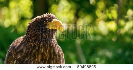 Portrait Of Big Male Sea Eagle On Green Background