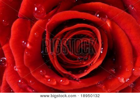 Close-up of red fresh rose with water droplets. Macro picture