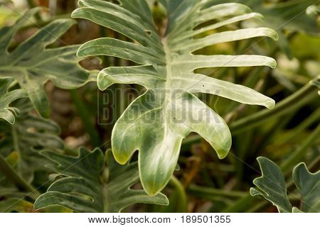Tropical plant leaf with selected focus in soft defused sunlight