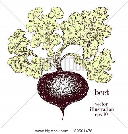 Beet, beetroot hand drawn vector illustration. Vintage Vegetable engraved style object. Can be use for menu, label, farm market