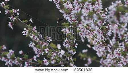 bumblebee on prunus incisa sakura in bloom in sunny spring day, wide photo