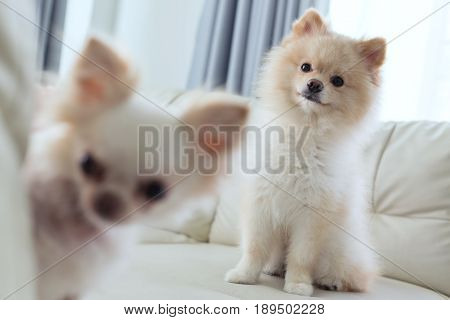 Puppy Pomeranian And Chihuahua Dog Cute Pet Happy Smile