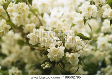 jasmine flowers blossoming in sunny summer day, closeup photo